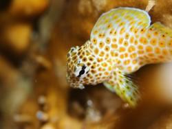 セダカギンポ幼魚。増えてきました!