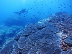 サンゴ群生。水深なんと20m!