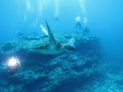 アオウミガメ。