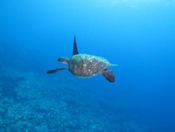 優雅にアオウミガメ。