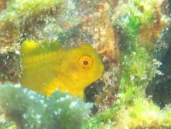 インドカエルウオ幼魚。萌え萌え1号。
