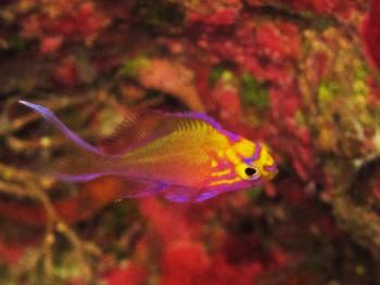ハナゴンべ幼魚。爆発中。可愛くきれい