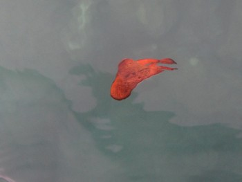 ナンヨウツバメウオ幼魚。枯葉のようです