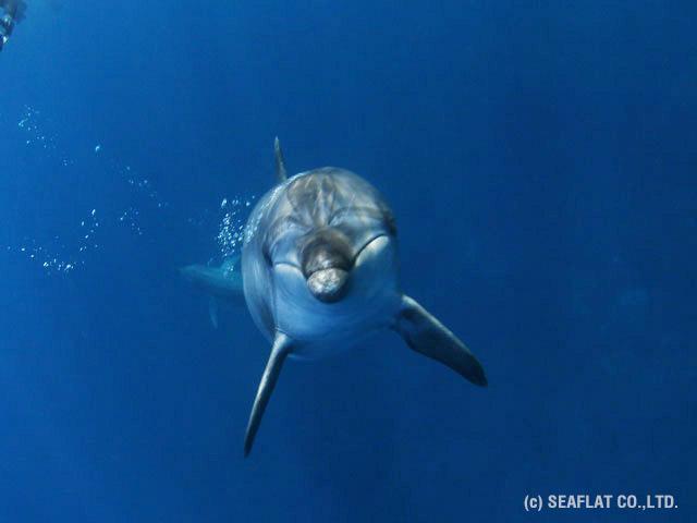 野生の御蔵島のイルカ
