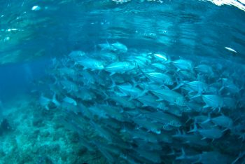 水面近くのギンガメ