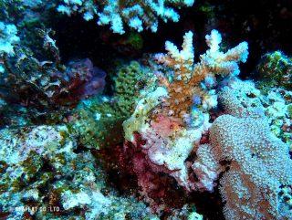 再生サンゴ