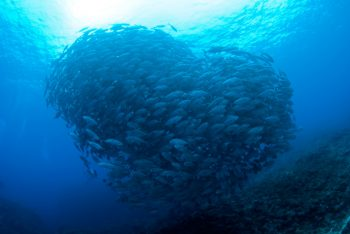 ハート bigeye  kingfish