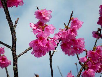 桜3分~5部咲き