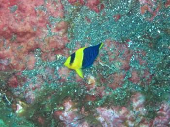 ソメワケッヤコ幼魚