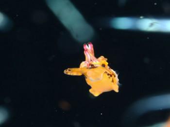 ハナイカ幼魚。