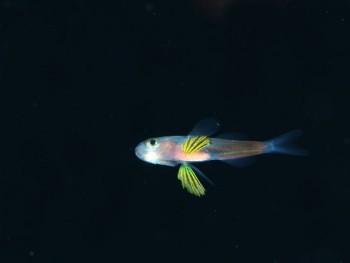 浮遊期幼魚。