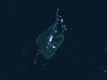 浮遊生物2。