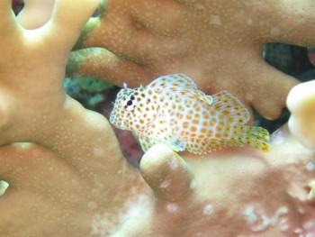セダカギンポ幼魚。3匹で争っていました。