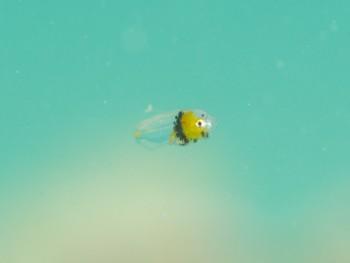 イロブダイ、スーパー幼魚。これまたスケスケ