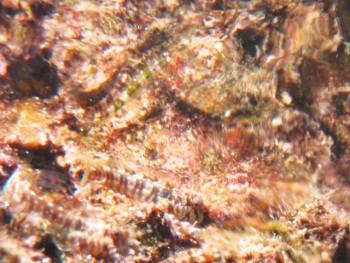 ホホグロギンポ。水面ギリギリショット2。水面に映ってます